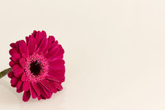 Flor cor-de-rosa escura do Gerbera na superfície do branco Imagens de Stock