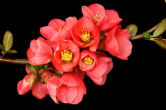 Flor cor-de-rosa escura no preto Foto de Stock
