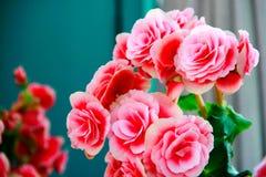 A flor cor-de-rosa está florescendo fotografia de stock royalty free