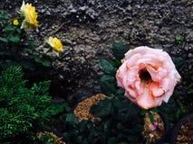 A flor cor-de-rosa está florescendo na luz do dia foto de stock