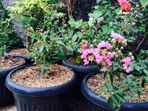 A flor cor-de-rosa está florescendo na luz do dia foto de stock royalty free