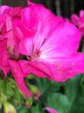 Flor cor-de-rosa fechado-acima Fotos de Stock