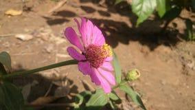 Flor cor-de-rosa-flowller imagem de stock