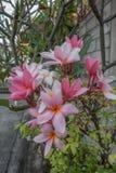 Flor cor-de-rosa, frangipani Fotografia de Stock Royalty Free
