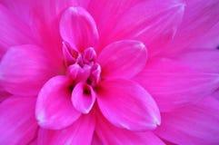 Flor cor-de-rosa grande Imagens de Stock Royalty Free