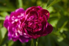 Flor cor-de-rosa grande da pe?nia no jardim imagem de stock royalty free