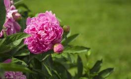 Flor cor-de-rosa grande da pe?nia no jardim foto de stock