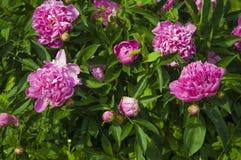 Flor cor-de-rosa grande da pe?nia no jardim fotografia de stock