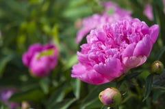 Flor cor-de-rosa grande da pe?nia no jardim imagem de stock