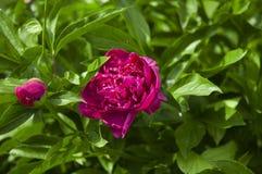 Flor cor-de-rosa grande da pe?nia no jardim imagens de stock