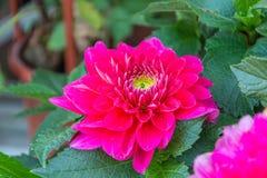 Flor cor-de-rosa grande do crisântemo Imagens de Stock Royalty Free