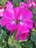 Flor cor-de-rosa - hibiscus imagem de stock royalty free