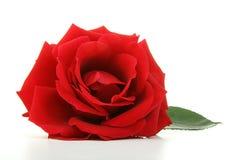 Flor cor-de-rosa isolada Imagens de Stock Royalty Free