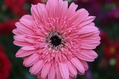 Flor cor-de-rosa isolada da margarida no jardim foto de stock royalty free