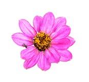 Flor cor-de-rosa isolada no branco Fotos de Stock
