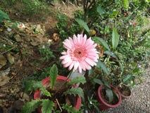 Flor cor-de-rosa lindo Imagem de Stock