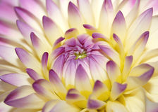 Flor cor-de-rosa macro