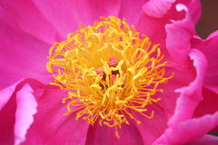 Flor cor-de-rosa macro Imagens de Stock