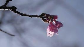 Flor cor-de-rosa na estação de mola video estoque
