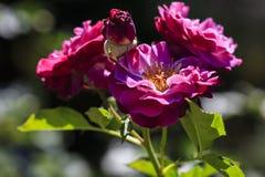 Flor cor-de-rosa na flor imagens de stock
