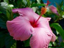 Flor cor-de-rosa na flor completa Imagem de Stock