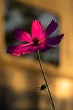 Flor cor-de-rosa na hora dourada Fotos de Stock Royalty Free