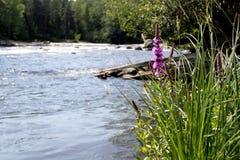 Flor cor-de-rosa no banco de rio fotos de stock