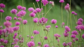 A flor cor-de-rosa no fundo da natureza do borrão do jardim, tom da cor do estilo do vintage, verde natural borrou o fundo video estoque