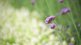 A flor cor-de-rosa no fundo da natureza do borrão do jardim, tom da cor do estilo do vintage, verde natural borrou o fundo vídeos de arquivo