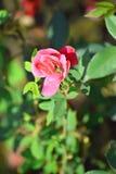 Flor cor-de-rosa no fundo do borrão Imagens de Stock
