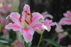Flor cor-de-rosa no fundo do jardim, flor cor-de-rosa do lírio Imagem de Stock