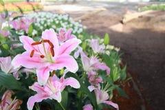 Flor cor-de-rosa no fundo do jardim, flor cor-de-rosa do lírio Fotos de Stock Royalty Free