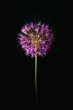 Flor cor-de-rosa no fundo preto Imagens de Stock