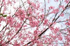 Flor cor-de-rosa no inverno, sakura tailandês da flor de cerejeira no MAI de Chaing imagem de stock royalty free