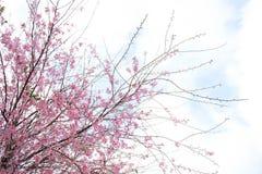 Flor cor-de-rosa no inverno, sakura tailandês da flor de cerejeira no MAI de Chaing foto de stock royalty free