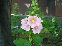 Flor cor-de-rosa no jardim fotos de stock royalty free