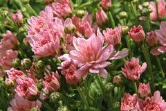 Flor cor-de-rosa no jardim Imagens de Stock Royalty Free