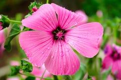 Flor cor-de-rosa no jardim foto de stock royalty free