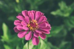 Flor cor-de-rosa no jardim Imagens de Stock