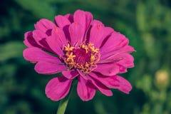 Flor cor-de-rosa no jardim Imagem de Stock Royalty Free