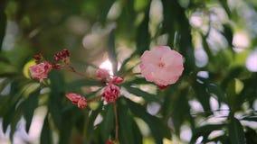 A flor cor-de-rosa no movimento lento e o sol no fundo que brilha através dele gostam de um diamnod filme