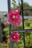 Flor cor-de-rosa, paeonia Imagens de Stock