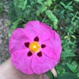 Flor cor-de-rosa Papery imagens de stock royalty free