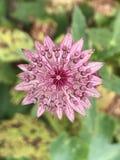 Flor cor-de-rosa Papery de Starburst no assoalho do jardim foto de stock