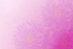 Flor cor-de-rosa para o fundo Fotografia de Stock Royalty Free