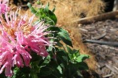 Flor cor-de-rosa Pointy Fotos de Stock