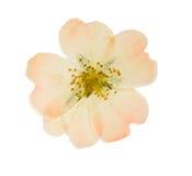 A flor cor-de-rosa pressionada e secada selvagem aumentou Isolado Foto de Stock Royalty Free