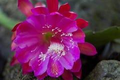 Flor cor-de-rosa que senta-se nas rochas Fotos de Stock Royalty Free