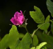 Flor cor-de-rosa cor-de-rosa quente no fundo preto fotos de stock
