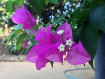 flor Cor-de-rosa-roxa Fotos de Stock Royalty Free